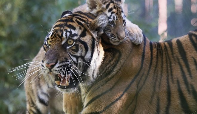 """Amur Tiger Cub """"Zoya"""" jumps on her surrogate Sumatran Tiger mom """"Lola"""" at the Oklahoma City Zoo in Oklahoma City, Thursday, Oct. 26, 2017. Zoya was born at the Philadelphia Zoo July 10, 2017, but was rejected by her mother, and sent to the Oklahoma City Zoo for fostering. (AP Photo/Sue Ogrocki)"""