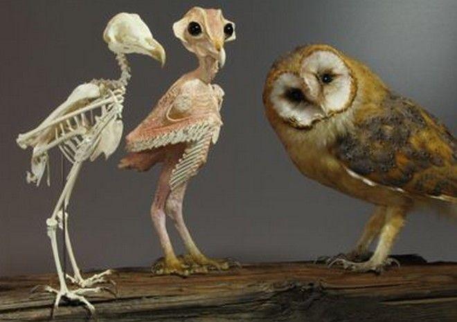 Πώς μοιάζουν οι κουκουβάγιες χωρίς φτερά και πούπουλα;