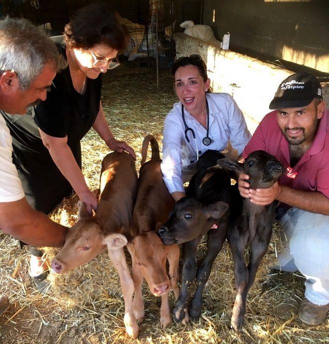 Σπάνιο περιστατικό στην Άνδρο: Αγελάδα γέννησε τετράδυμα