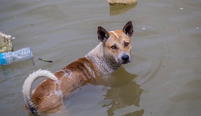 Σκυλί σε πλημμύρα (φωτογραφία αρχείου)