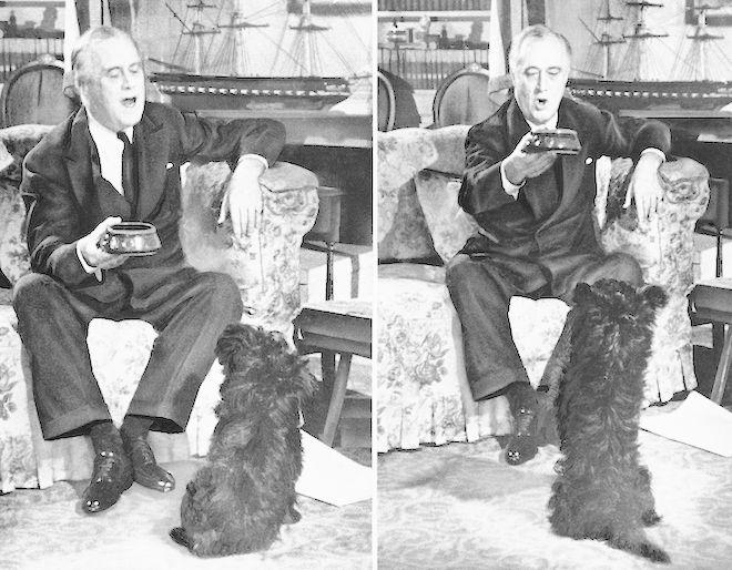 Ο Franklin D. Roosevelt παίζει με το Scotch terrier του, στο Λευκό Οίκο, 1943.