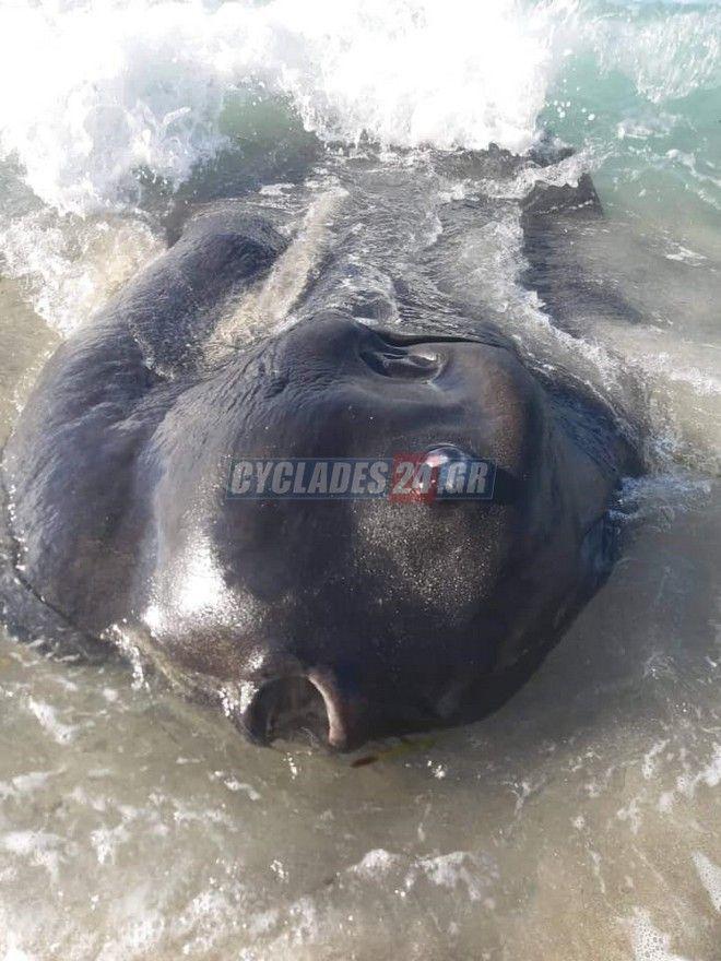 Το ψάρι που ξεβράστηκε σε παραλία της Μήλου