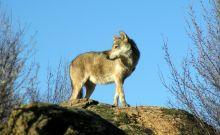Αναστάτωση στην Ξάνθη: Αγέλες λύκων κατασπαράζουν σκυλιά
