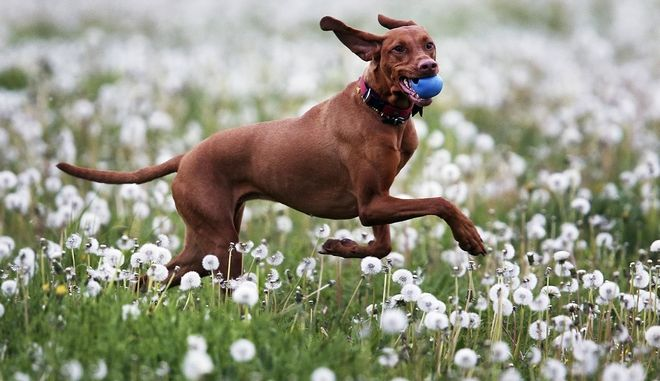 Hungarian hunting dog Lia carries a ball through a field of dandelions in a park in Frankfurt, Germany, Monday, May 8, 2017.(AP Photo/Michael Probst)