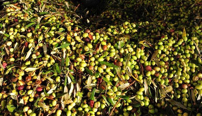 Μάζεμα ελιάς στην Ακροποταμιά της Ηλείας.  (EUROKINISSI/ΑΝΤΩΝΗΣ ΝΙΚΟΛΟΠΟΥΛΟΣ)