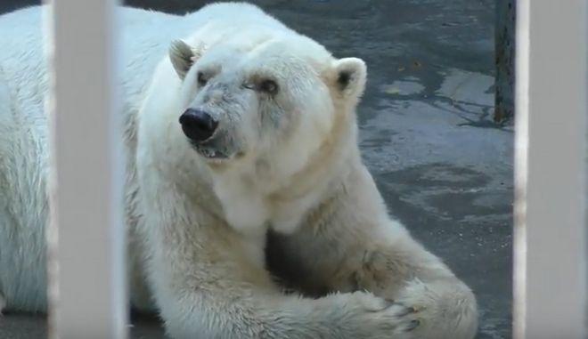 Ρωσία: Πέθανε η Αμντέρμα, η γηραιότερη λευκή αρκούδα της Ρωσίας