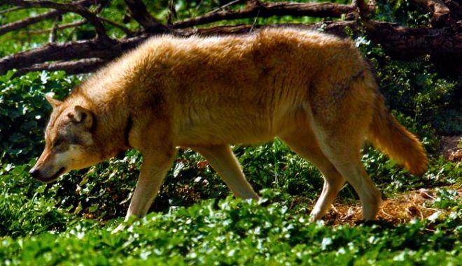Γκρίζος λύκος σε στιγμιότυπο απο μια βόλτα στο Αττικό Ζωολογικό Πάρκο των Σπάτων,στις 15 Απριλίου 2009   ( EUROKINISSI / ΧΑΣΙΑΛΗΣ ΒΑΪΟΣ )