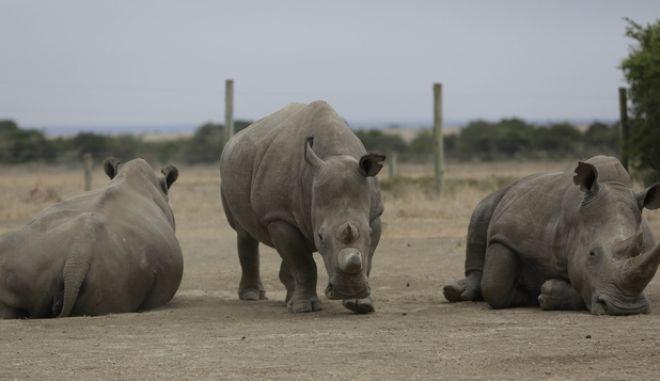 Δεξιά ο Σουντάν και δίπλα του η Φατού και η Ναϊτζίν, οι δύο τελευταίοι θηλυκοί ρινόκεροι στον κόσμο