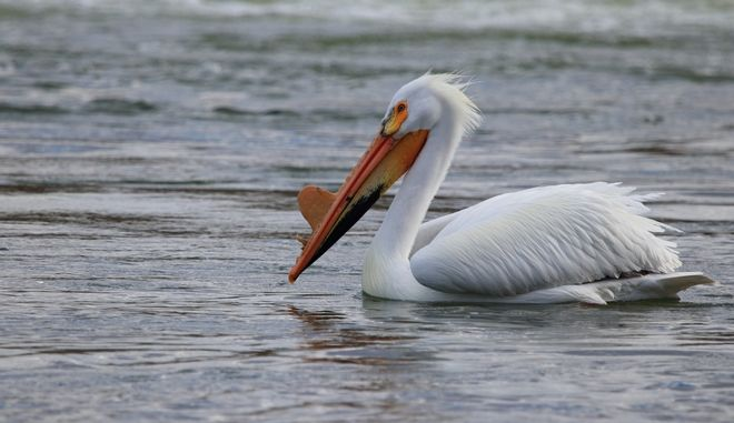 Καστοριά: Κρούσμα γρίπης των πτηνών σε πελεκάνο