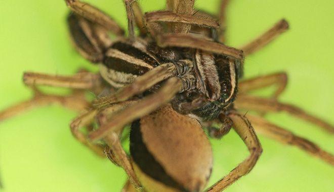 Αρσενικές αράχνες επιδίδονται σε όργια για να μη φαγωθούν από τις θηλυκές
