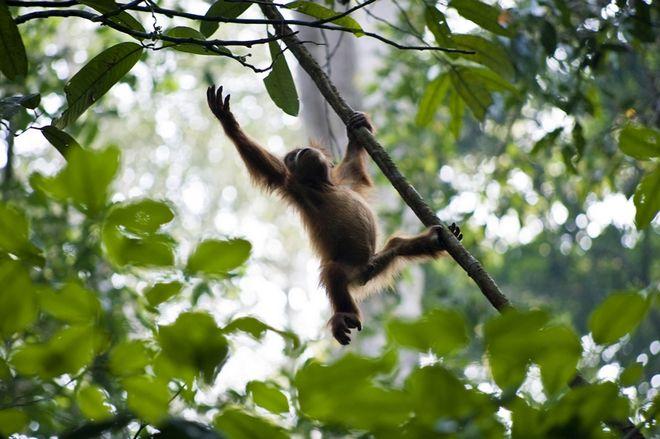 Freilebender Orang Utan im Leuser Nationalpark in Bukit Lawang. Auf Sumatra leben etwa 6600 Orang Utans in der Wildnis.