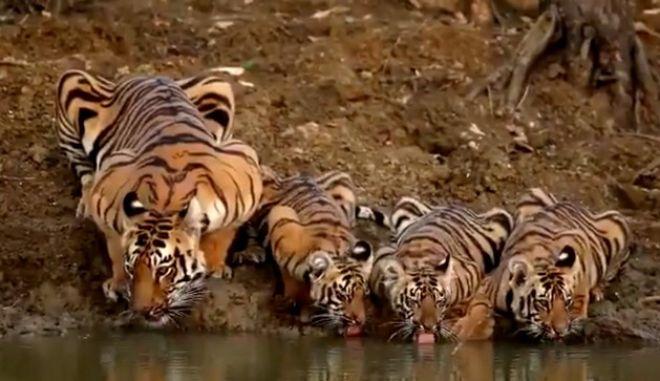 Αυτές οι τίγρεις μπορούν να σου φτιάξουν τη μέρα με ένα βίντεο 14 δευτερολέπτων