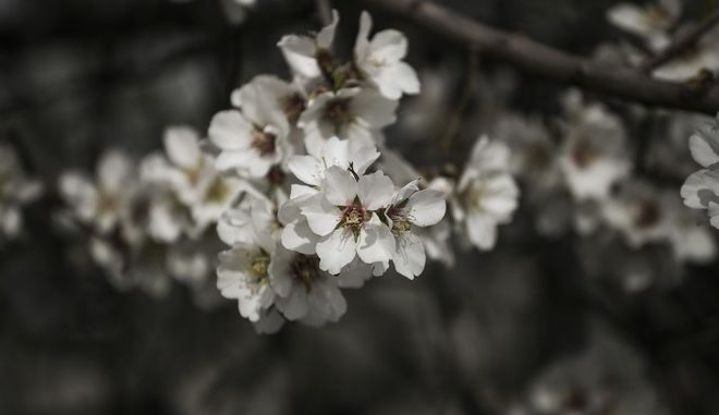 Flowers of a blossomed tree, in Athens, on Feb. 17, 2016 /       ,  17 , 2016
