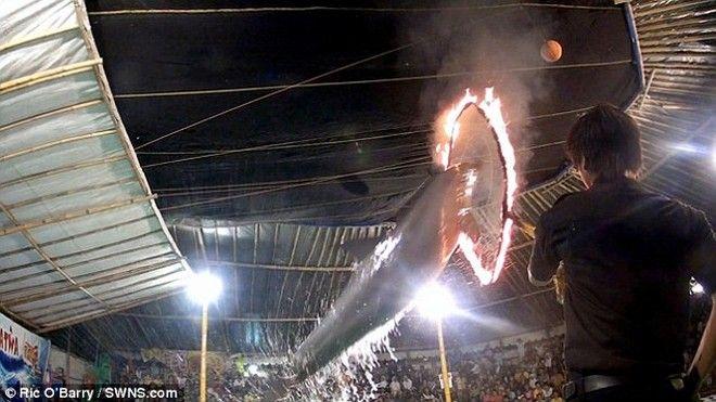 Δελφίνια περνούν από φωτιές και κακοποιούνται στο τσίρκο του τρόμου