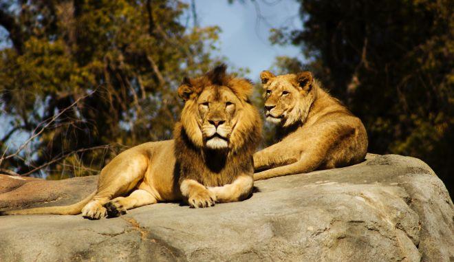 Εκπαιδευτής τσίρκο δέχτηκε επίθεση απο λιοντάρι - Παρακολουθούσαν παιδιά