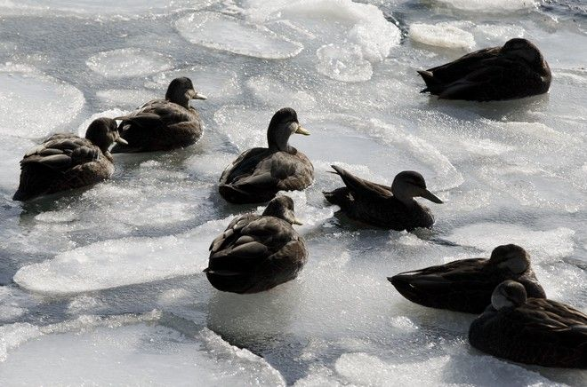 Ducks sit on sea ice in Boston Harbor, Wednesday, Jan. 3, 2018, in Boston. After a week of frigid temperatures, a major winter storm is predicted for the region on Thursday. (AP Photo/Michael Dwyer)
