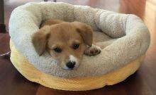 H Λούσι, το σκυλί του κυβερνήτη Jerry Brown, όταν την είχε πρωτοϋιοθετήσει, το 2015 (Office of Gov. Jerry Brown via AP)