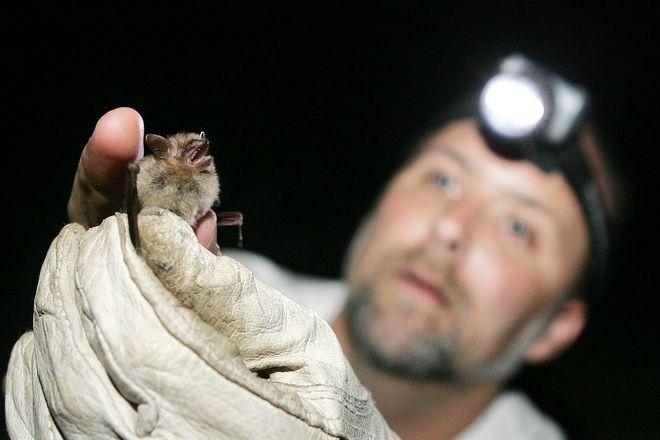 Βιολόγος εξετάζει μια νυχτερίδα - φωτογραφία αρχείου