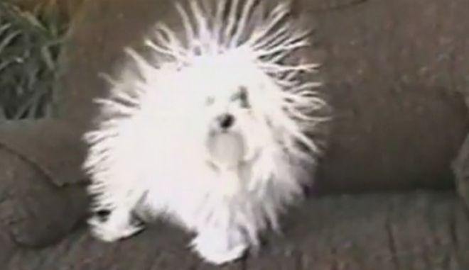 Ο σκύλος που γίνεται... σκαντζόχοιρος