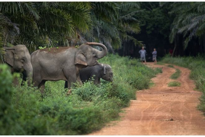 Ελέφαντες στο φυσικό τους περιβάλλον, στην Ταϊλάνδη.