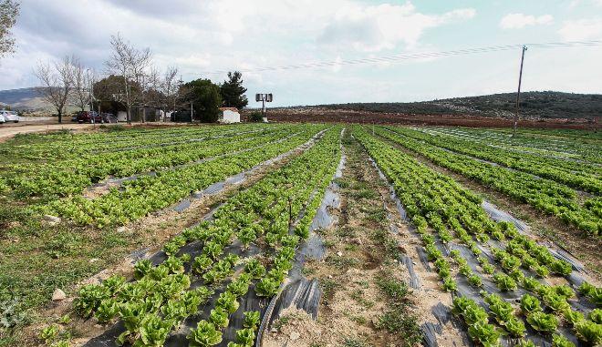 Θεσσαλονίκη: Καταστρέφονται καλλιέργειες με σπαράγγια λόγω απουσίας εργατών γης