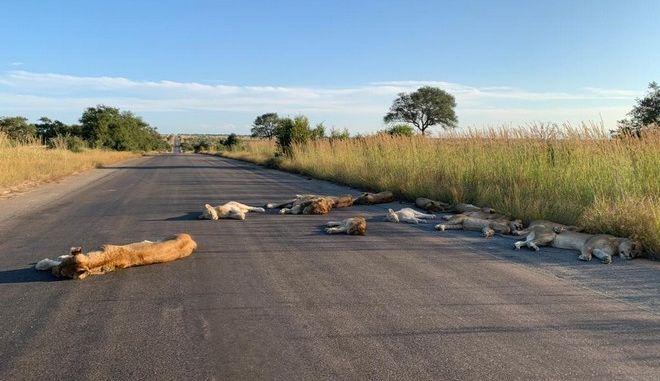 Κορονοϊός: Λιοντάρια κοιμούνται στο δρόμο κατά τη διάρκεια του lockdown στη Νότια Αφρική