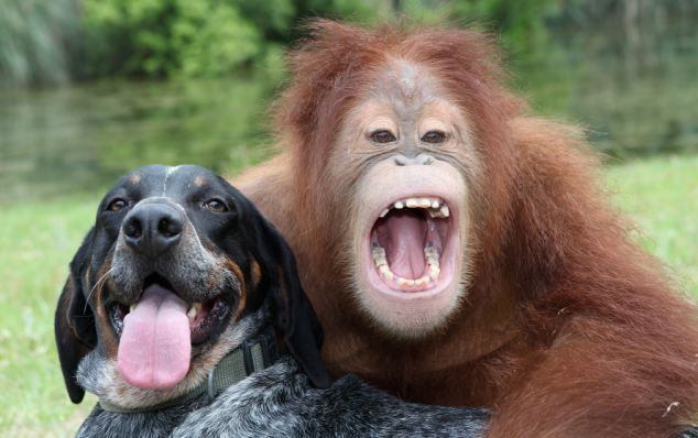 Suryia, a 3 year old orangutan with his best friend Roscoe. T.I.G.E.R.S. (The Institute of Greatly Endangered and Rare Species) Myrtle Beach, South Carolina. 11/05/09. Photo by Barry Bland