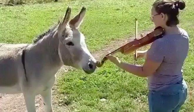 Το γαϊδούρι 'τενόρος', τραγουδά συνοδεία βιολιού
