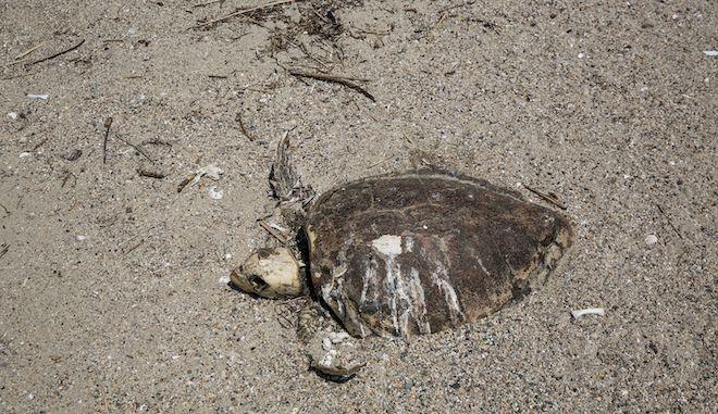 Θεσσαλονίκη: Χελώνα καρέτα - καρέτα βρέθηκε νεκρή