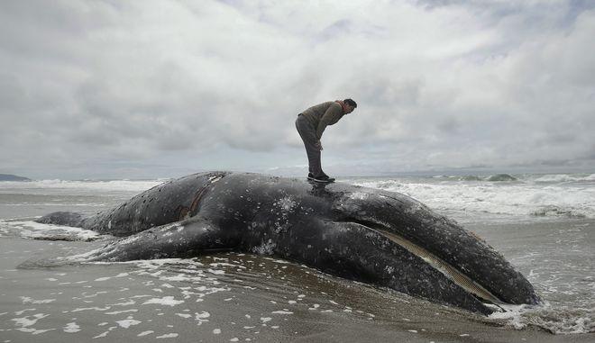 Νεκρή φάλαινα (ΦΩΤΟ Αρχείου)