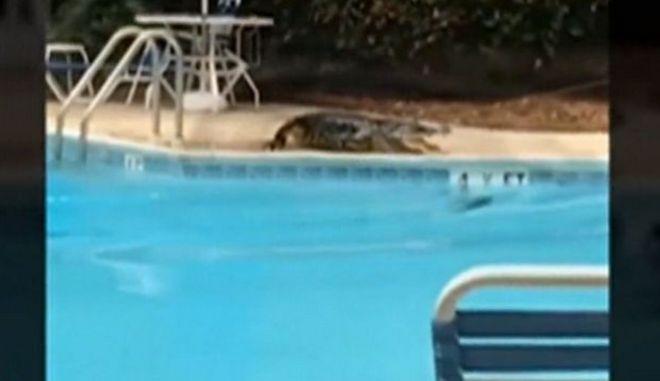 Απρόσκλητος επισκέπτης: Αλιγάτορας κάνει βουτιά σε πισίνα ξενοδοχείου