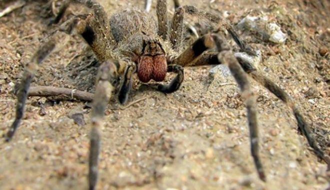 Θανατηφόρες αράχνες μέσα σε μπανάνες στη Βρετανία