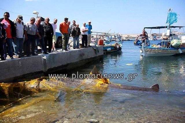 Καρχαρίας στα δίχτυα ψαράδων στο Πλωμάρι της Λέσβου