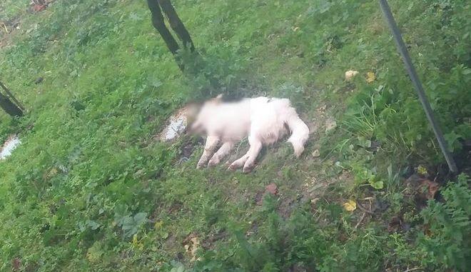 """Κρήτη: 75χρονη έριξε φόλες σε σκυλιά επειδή """"της έτρωγαν τις κότες"""""""