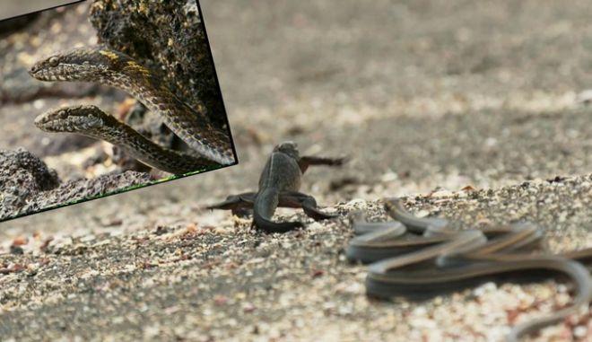 Η ενέδρα: Φίδια κυνηγούν μικρό ιγκουάνα στο πιο θρίλερ βίντεο της χρονιάς