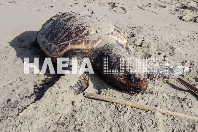 Καρέ από τη νεκρή χελώνα Καρέτα-Καρέτα