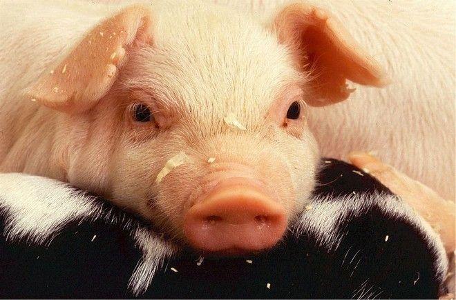 Τα Σκόπια θέλουν χοιρινό κρέας…