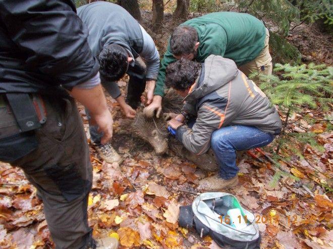 Επιχείρηση απεγκλωβισμού αρκούδας από παράνομη παγίδα για αγριογούρουνα στα Γρεβενά. Παρασκευή 17 Νοέμβρη 2017.  (EUROKINISSI / ΑΡΚΤΟΥΡΟΣ)
