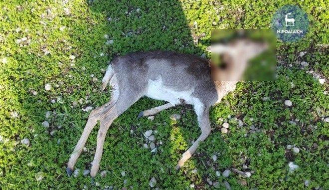 Ρόδος: Με πυροβόλο όπλο έχουν σκοτωθεί τα 20 ελάφια. Έρευνες για τον εντοπισμό του δράστη