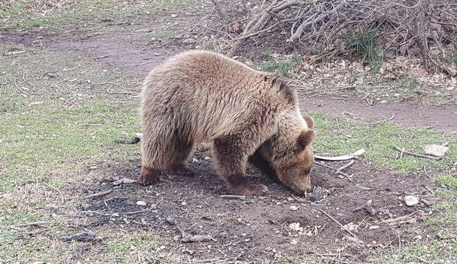 Έβγαλαν 'στο σφυρί' αρκουδάκι στην Αλβανία - Το έσωσε ο Αρκτούρος