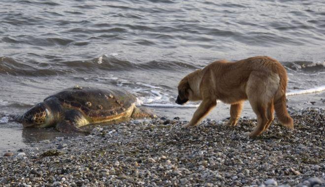 Νεκρή εντοπίσθηκε θαλάσσια χελώνα καρέτα-καρέτα