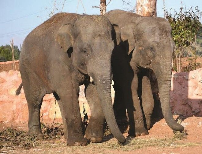 Ασιατικοί Ελέφαντες: οι νέοι κάτοικοι του Αττικού Ζωολογικού Πάρκου
