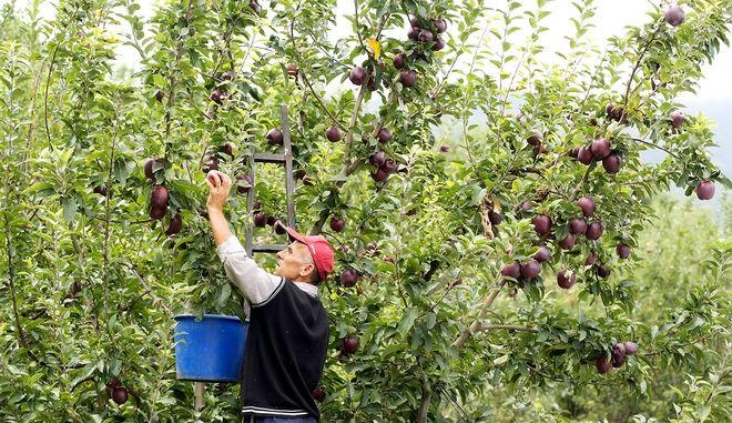 Από το δέντρο, στο τραπέζι σου: Η ιστορία των μήλων που τρως είναι ελληνική