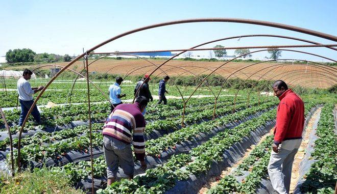 Μετανάστες από το Μπανγκλαντές σε αυτοσχέδιο κατάλυμα σε φραουλοχώραφο στη Νέα Μανωλάδα Ηλείας.   Οι χώροι στους οποίους διαμένουν οι μετανάστες εργάτες δεν ήταν ούτε για να σταβλίζονται ζώα. Η εικόνα είναι απελπιστική. Στις κατασκευές - θερμοκήπια που καλλιεργούν τις φράουλες οι ίδιες ακριβώς κατασκευές - παράγκες - θερμοκήπια αποτελούν σπίτι για τους μετανάστες εργάτες - έξω από το χωριό στα βάθη των αγρών. Πόσιμο νερό, τουαλέτα, δεν υπάρχει. Η ατομική τους υγιεινή και το μπάνιο γίνεται από σωλήνα γεώτρησης στην ύπαιθρο, με τα νερά να λιμνάζουν σε δεξαμενές ακριβώς δίπλα όπου μένουν. Στην ευρύτερη περιοχή βρίσκονται περισσότεροι από 4.500 μετανάστες που απασχολούνται κυρίως στα φραουλοχώραφα. Μετανάστες από το Μπαγκλαντές, το Πακιστάν, την Αίγυπτο, αλλά και βαλκανικές χώρες.  (EUROKINISSI/ΑΝΤΩΝΗΣ ΝΙΚΟΛΟΠΟΥΛΟΣ)