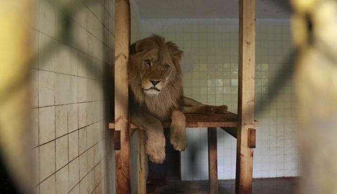 Λιοντάρι σε ζωολογικό κήπο.