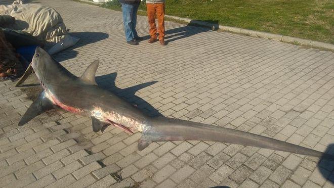 Καρχαριοειδές 3 μέτρων και 100 κιλών πιάστηκε στον Παγασητικό
