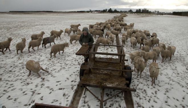 "Farmer Ross Turner feeds his sheep hay in his snow covered paddocks on the outskirts of Christchurch, New Zealand, Wednesday, July 12, 2017. The MetService has issued a heavy snow warning across parts of the country as a ""significant"" winter storm bears down on the center of New Zealand. (AP Photo/Mark Baker)"
