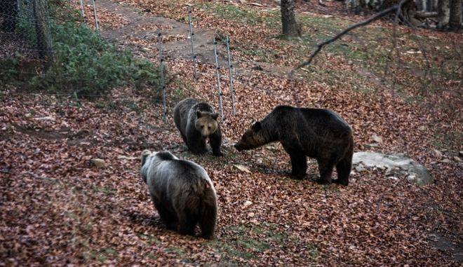 Αρκούδες στο καταφύγιο του Αρκτούρου