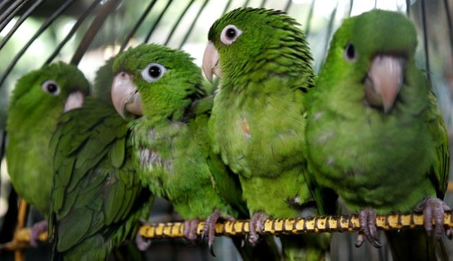 Parakeets that were confiscated from an illegal business during Saturday's operative of Environment and Natural Resources Ministry (MARENA) rest in the National Zoo of Managua, Nicaragua, Monday, Oct. 24, 2005. Britain is considering banning live birds since an imported parrot recently died of the Asian bird flu. (AP Photo/Esteban Felix)
