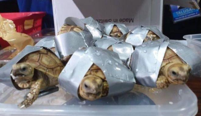 τα χελωνάκια που βρέθηκαν δεμένα με μονωτική ταινία σε βαλίτσες